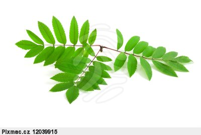 leaves of rowan tree isolated on the white